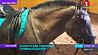 Какими качествами обладает белорусская упряжная - единственная национальная порода лошадей