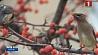Американский город Гилберт, штат Миннесота, атаковали пьяные птицы Амерыканскі горад Гілберт, штат Мінесота, атакавалі п'яныя птушкі