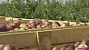 Уборка фруктов и овощей в Минской области почти достигла экватора Уборка садавіны і агародніны ў Мінскай вобласці амаль дасягнула экватара