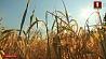 Белорусские аграрии в этом году планируют собрать 7 600 000 тонн зерна Беларускія аграрыі сёлета плануюць сабраць 7 600 000 тон збожжа