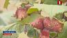 Белорусские садоводы все больше проявляют интерес к выращиванию фундука Беларускія садаводы ўсё больш цікавасці праяўляюць да вырошчвання фундуку