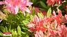 В Ботаническом саду  время  цветения рододендронов У Батанічным садзе  час  цвіцення рададэндранаў