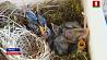 Беларусь и Литва объединили усилия по спасению исчезающего вида птиц Беларусь і Літва аб'ядналі намаганні па выратаванні знікаючага віду птушак