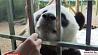 В лесном зоопарке Китая живет общительная панда У лясным заапарку Кітая жыве гаваркая панда