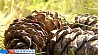 Сибирские кедры прижились на юге Беларуси