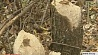 Бобры нападают на огороды в Гомельском районе Бабры нападаюць на гароды ў Гомельскім раёне