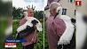 В Пуховичском районе семья подружилась с аистом У Пухавіцкім раёне сям'я пасябравала з буслам