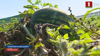 В Беларуси собирают урожай арбузов